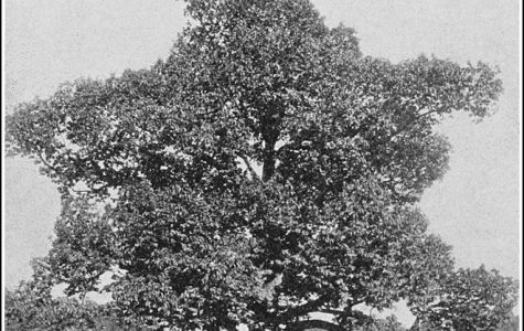 Nature's Greatest Tragedy – The Extinction of the American Chestnut Tree